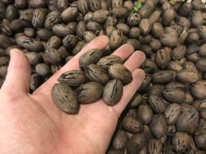 Small pecans - like the Walmart ones - $4.5/lb for Sale in Houston, TX