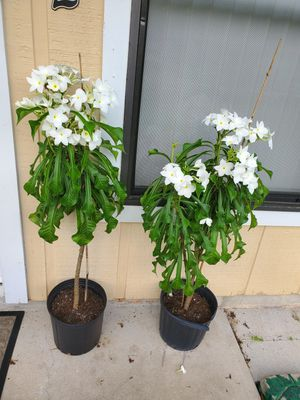 Beautiful flower plant for Sale in Fort Lauderdale, FL