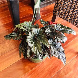 Begonia Angel Wing Sophia Polka Dots Rare Live Indoor Plant 8-Inch Hanging Basket Houseplant Red for Sale in Chino Hills, CA