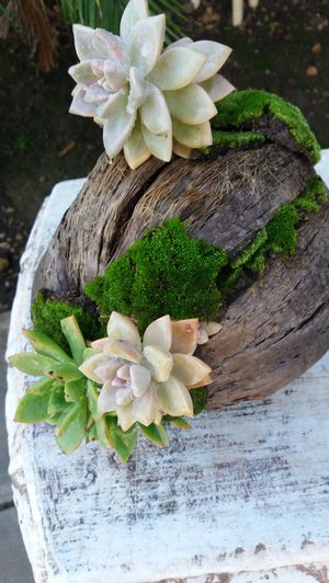 beautiful succulent arrangement in a coconut shell for Sale in Rancho Cucamonga, CA