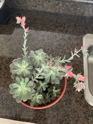 Succulent plants for Sale in Orlando, FL
