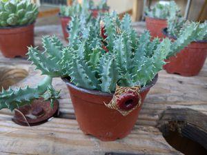 Starfish Cactus/Succulents for Sale in Perris, CA