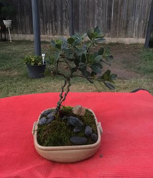 Bonsai flowering boxwood for Sale in Visalia, CA
