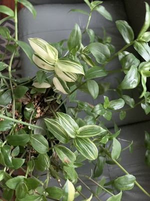 tradescantia fluminensis variegated for Sale in Placentia, CA