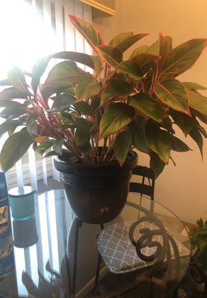 Plant and nice pot for Sale in Inkster, MI