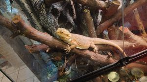 Bearded lizards $50 three bearded lizards tank and lights included for Sale in Sarasota, FL