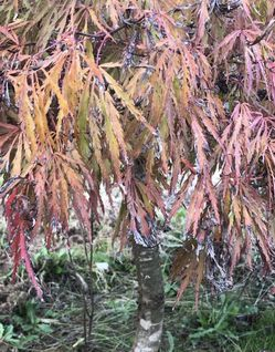 Japanese Maples Trees for Sale in Oregon City,  OR
