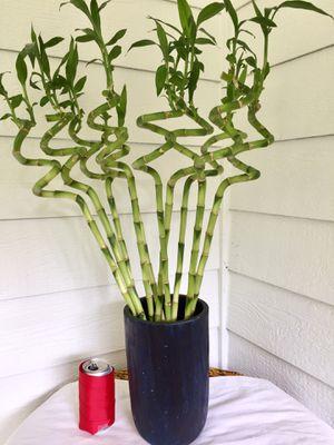 Real Indoor Houseplant - 10 Stems Spiral Dracaena Lucky Bamboo Plants in Blue Teak Planter Pot/ Vase for Sale in Auburn, WA