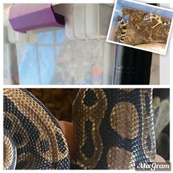 Ball Python And Leopard GeckosEnclosure!! for Sale in Los Angeles,  CA