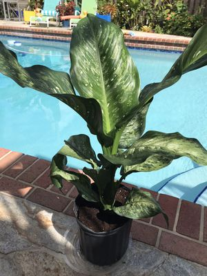 Dieffenbachia Macul Indoor Plant for sale! for Sale in Parkland, FL