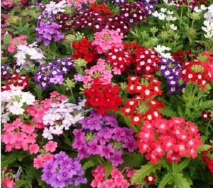 Mix verbena and petunia flowers in large hanging pots for Sale in St. Louis, MO