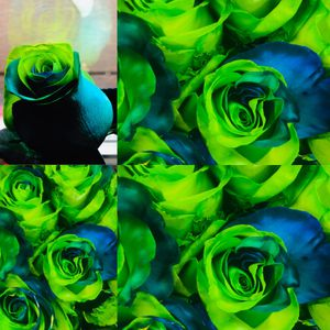 enhanced dyed seahawks roses for Sale in Spanaway, WA