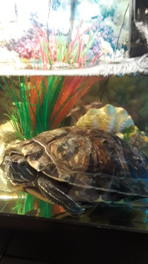 Female and Grown Red Eared Slider Turtle, including tank, pump and supplies for Sale in Federal Way, WA
