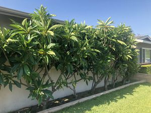 Plumeria cuttings for Sale in Modesto, CA