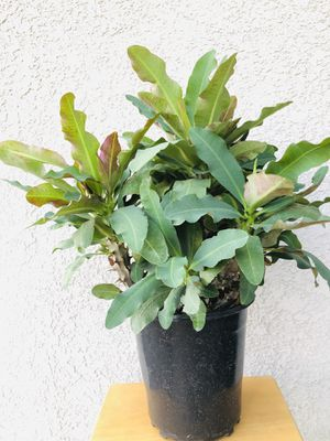 Plant with 1 gallon pot for Sale in Chino, CA
