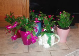 Christmas cactus house plants from 6-15 each for Sale in St. Louis, MO
