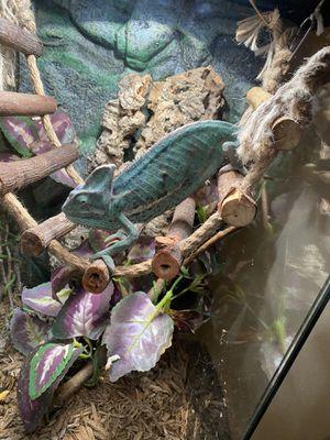 Chameleon For Sale! for Sale in Pasadena, CA