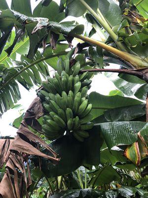 Green plantains , Plátano verde for Sale in Miami, FL