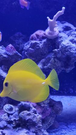 yellow tang for Sale in Miami,  FL