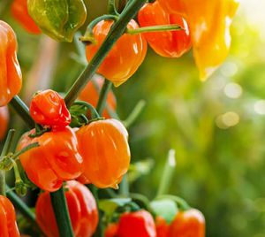 """Orange Habanero"" Strain Pepper seeds ORGANIC-5 heirloom seeds per pack for Sale in Marion, SC"