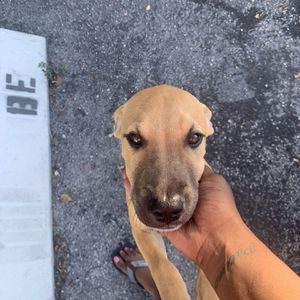 Puppy For Sale for Sale in Fort Lauderdale, FL