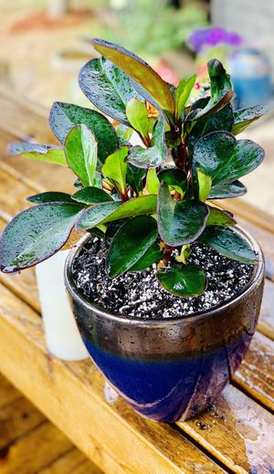 Live indoor Red Edged Peperomia (cluslifolla) house plant in a ceramic planter flower pot—firm price for Sale in Seattle, WA