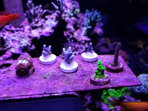 Sps coral frags Blasto for Sale in Moreno Valley, CA