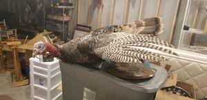 Turkey taxidermy for Sale in Goddard, KS