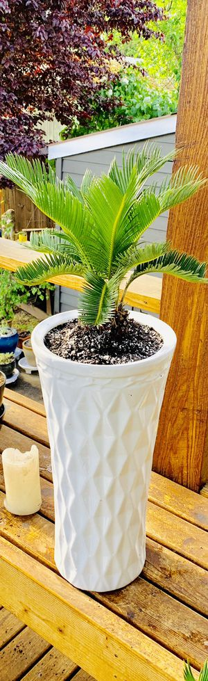 Live indoor Sago Palm house plant in a textured ceramic planter flower pot—firm price for Sale in Seattle, WA