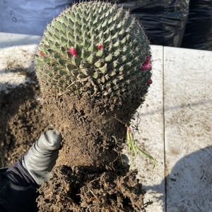 Cactus Mammillaria House Plant for Sale in Los Angeles, CA