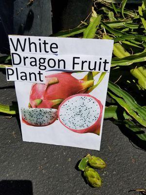 White Dragon Fruit Plants Cutting $5each for Sale in La Puente, CA