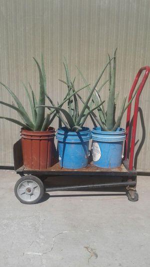 Aloe Vera Grande Sabilas Plantas for Sale in Phoenix, AZ