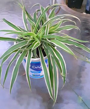 Spider Plant for Sale in New Orleans, LA