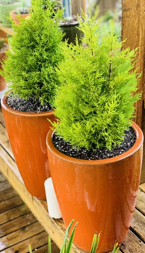 Price is for pair—Live outdoor Lemon Cypress plant trees in an orange Le Beau ceramic planter pot—firm price for Sale in Seattle, WA