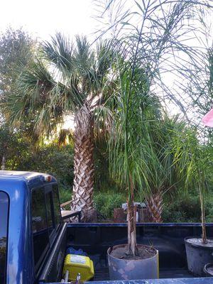 Big Palm Tree for Sale in GRANT VLKRIA, FL