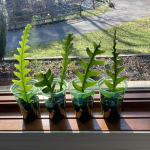 Fishbone Cactus Starter Kit - $15 for Sale in Columbia, MD