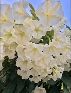 White Flowering Tree - Angel's Trumpets (Brugmansia) for Sale in Los Angeles, CA