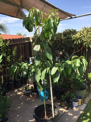Hass avocado tree for Sale in Fontana, CA