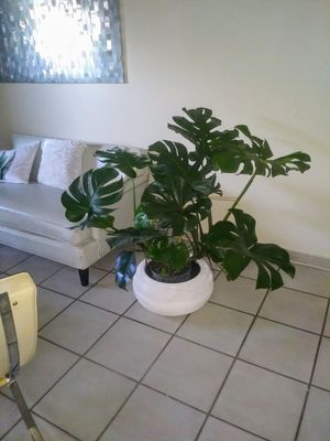 Home Decor Real Swiss cheese plant for living room dining room bedroom and office round plant pot included for Sale in Miami, FL