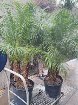 Two pygma date palms 160$ or each 80$ for Sale in San Jose, CA