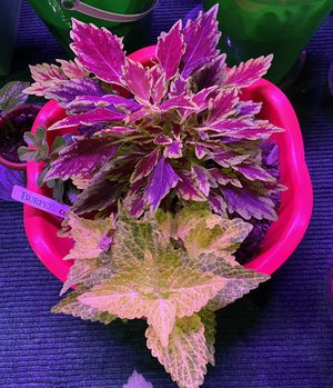 Red/burgundy coleus for sale for Sale in Ashburn, VA