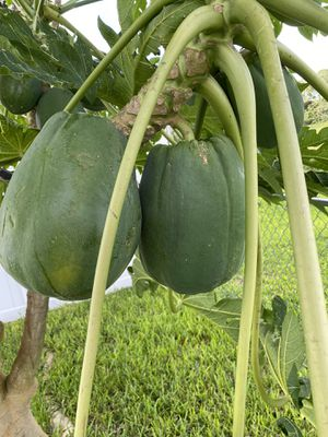 Papayas for Sale in Palm Bay, FL