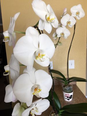 Orchids for Sale in San Diego, CA