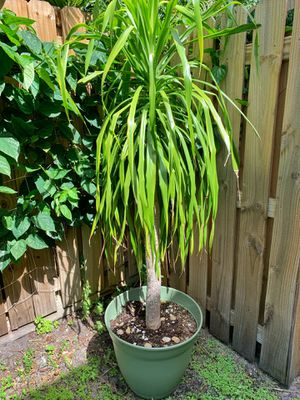 Tall yucca plant with planter / pot for Sale in Boca Raton, FL