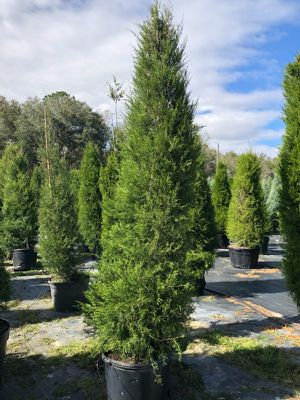 Cedar trees delivered and planted 10 ft tall for Sale in Largo, FL