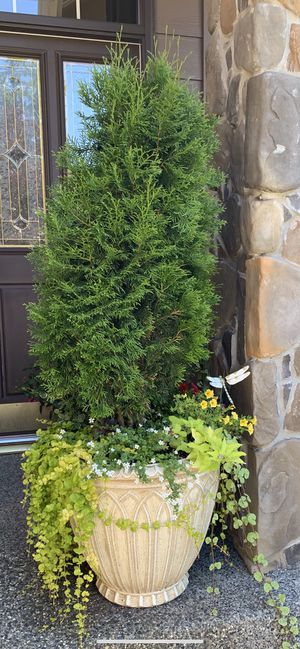 Emerald Green Arborvitae Tree in a Huge Planter Pot for Sale in Mill Creek, WA