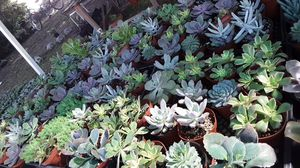 "4"" pots with succulent plants only $2 each for Sale in La Mirada, CA"