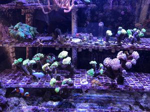Branching Hammer Corals for Sale in Boston, MA