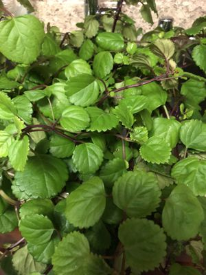 'LIVE' Red Stem Swedish Ivy Starter Plants for Sale in Owings Mills, MD