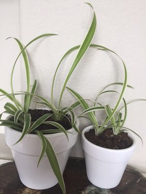 2 Spider Plants for Sale in Happy Valley, OR